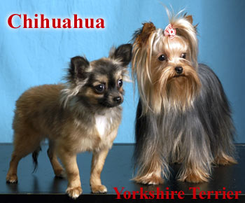 Chihuahua - Yorkshire Terrier